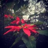Poinsettias grow wild on this island and reach the size of medium-sized trees.